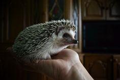 hedgehog in the hands by ~SuzakuPL on deviantART