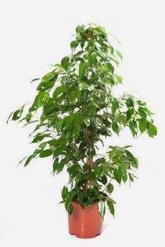 A 6 legjobb légtisztító szobanövény Ficus, Herbs, Flowers, Plants, Minden, Lunches, Decor, Gardening, Decoration