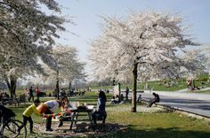 Amsterdam Travel: Where to Find Cherry Blossom in Amsterdam : As the Bird flies... Travel, Writing, and Other Journeys Travel Advice, Travel Guides, Travel Tips, Amsterdam Travel Guide, Amsterdam Things To Do In, Cherry Blossom, Stuff To Do, Dolores Park, Bird