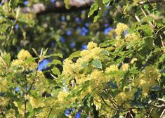 Attractive with lime-green oval leaves that give a sweet lemon fragrance. Clusters of fine, lightly fragrant flowers early spring - attractive to Bellbird, Tui and Wax-eyes. Forms a hardy quick-growing hedge or screen, also an attractive street tree. Evergreen, grows to 5 x 3m.