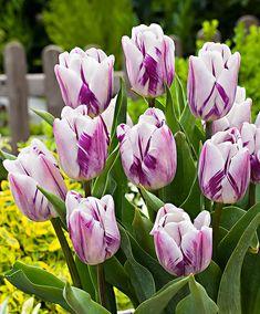 April / May Tulpen 'Flaming Flag'