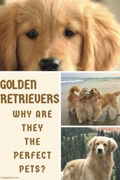 Golden Retrievers - Beautiful, loyal, family friendly and so much more all rolled up into one special furry friend! Golden Retriever Gifts, Golden Retriever Rescue, Retriever Puppy, Golden Retrievers, Family Friendly Dogs, Group Of Dogs, Golden Puppy, Dog Owners, Dog Grooming