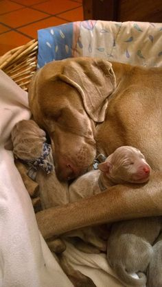 Vizsla and pups Cute Puppies, Cute Dogs, Dogs And Puppies, Doggies, Adorable Babies, Baby Animals, Funny Animals, Cute Animals, Weimaraner Puppies