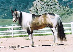 Passion Buck (Black Passion x Too Tru) is a 1998 APHA buckskin tobiano stallion homozygous for the tobiano and black genes. Don't you just love the sooty shading in his coat? Cute, cute!