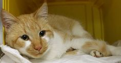 Available: 1/11 NAME: Lois  ANIMAL ID: 24715385 BREED: DSH  SEX: Female  EST. AGE: 1 yr  Est Weight: 5.15 lbs Health:  Temperament: friendly ADDITIONAL INFO:  RESCUE PULL FEE: $39