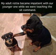 23 Funny Animal Pictures Of The Day The Best Funny Pictures Of Today's Internet 'Stupid humans don't know how to properly train a dog' – Adult rottie The Best Funny Pictures Of Today's Internet The Funniest Picture. Cute Animal Memes, Animal Jokes, Cute Funny Animals, Funny Animal Pictures, Cute Baby Animals, Funny Cute, Humorous Animals, Hilarious, Funny Animal Humor