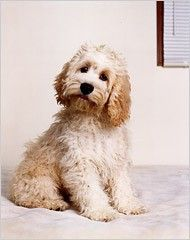 Cockapoo Even MORE if you click the image!