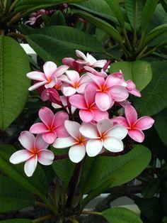 frangipani bermuda - Google Search