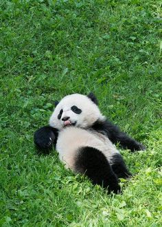 'GO GIRL !!!!!!!!': Bao Bao Wins Smithsonian Summer Showdown: DCist Panda