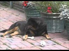 Crazy Dog Attacks His Own Paw Funny Dog Videos, Funny Dogs, Dog Attack, Crazy Dog, Animals, Animales, Animaux, Animal, Animais