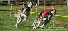 Fotografía de dos perros Saluki corriendo en el canódromo. Galgos Persas (Tazi) compitiendo y llevando bozal para evitar que se dañen entre ellos. Raza de perro (Saluki dogs running on the racetrack. Persian Greyhound wearing a muzzle. Breed of dog).