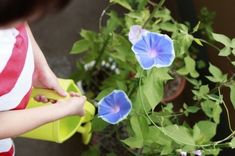 Watering Morning Glories: How Much Water Do Morning Glories Need - Easy care and fast growing, morning glories offer a sea of blossoms in pink, purple, red, blue and white. Like most other summer annuals, they need water to thrive. Click here for information about morning glory watering needs.