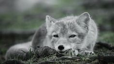 A relaxed Arxtic Fox by Cecilie Sønsteby on 500px