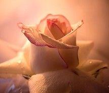Pure single rose.  via Terri Gwinn @ 'A rose is a rose' from vis.ual.lise