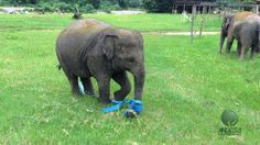 An elephant having the most fun you can possibly have with a ribbon.