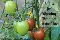 5 Tips for Ripening Tomatoes on the Vine