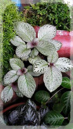 Light...kuma มุมคนรักพรม Begonia, Camelia Rosa, Plantas Indoor, Nerve Plant, Flower Garden Plans, Purple Plants, Mini Plants, Garden Items, Outdoor Plants