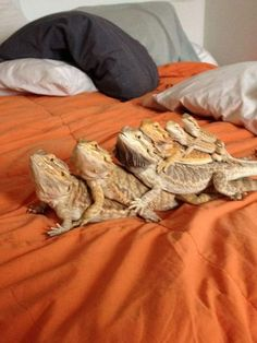 Types Of Pet Reptiles Bearded Dragon Funny, Bearded Dragon Diet, Cute Little Animals, Cute Funny Animals, Funny Pets, Cute Lizard, Cute Reptiles, Pet Dragon, Exotic Pets