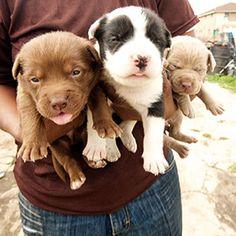 Pit Bulls and Parolees: Animal Planet