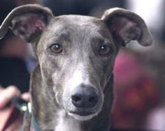 Demand Australia stops the live export of greyhound dogs to Macau |  | Click for details and please SIGN and share petition. Thanks.