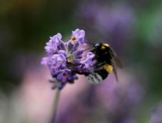 Hummel, Lavender, Yellow, Summer, Macro, Nature, Garden