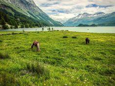 (c)SpiritWalker  #engadina #engadinasvizzera #switzerland #mountains #engadinabassa #engadinabella #svizzera #swissalps #engadin #engadinatrails #stmoritz #engadinalps #pontresina #engadinavalley #zurich #nature #engadinalove #hiking #scuol #silvaplana #suisse #switzerland #swiss #horses #Lake #Lakeview