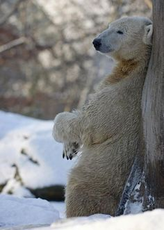 Polar Bear - Chillin'