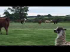Frodsham Hill View Llamas Sports Day, Horses, Llamas, World, Tube, Films, Animals, Videos, Movies