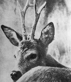 Deer • # 10