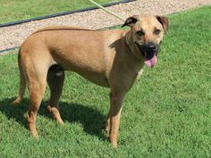 #Oklahoma ~ My name is DIESEL. I am a male Carolina Dog. I am about 5 years old and have been at the shelter since July 18th, 2014. I am a loyal dog looking for a second chance. I can be a little timid to begin with, but I will win you over with gentle kisses and loving eyes. Please consider adopting me into your family today! City of Edmond Animal Welfare at (405) 216-7615