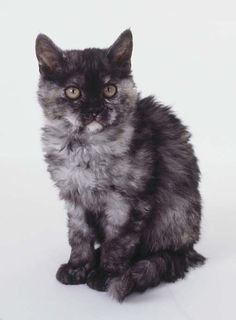Selkirk Rex!  Look at that face!!