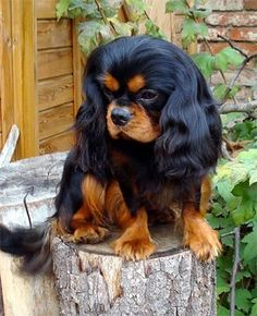 cavalier king charles spaniel black and tan - Google Search