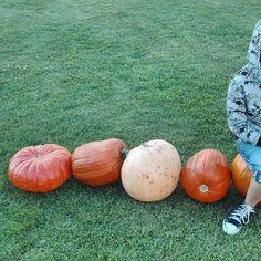 Magically in Gdynia on the lawns appear pumpkins.  #Gdynia #travel #Poland