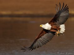 Http://www.PhotoPixSA.co.za African Fish Eagle with catch - With its distinctive plumage and evocative cry, the African fish-eagle (Haliaeetus vocifer) is probably the most familiar bird of prey in Africa. This one just catched a fish form the Lower Sabie dam in the  Kruger National Park, South Africa.