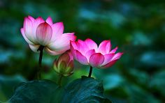 LOTUS FLOWER Quotes Like Success