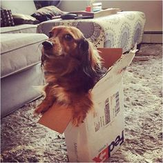 A dog in FedEx Express shipping box