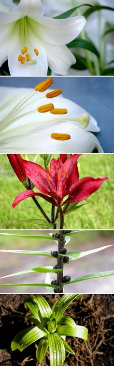 Breeding and Propagating Lilies