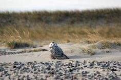 Snowy Owls are starting to show up on Cape Cod!