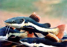Peixe Pirarara | Peixes Red Tail Catfish, Plecostomus, Outdoor Ponds, Monster Fishing, Underwater Animals, Angler Fish, Exotic Fish, Cichlids, Freshwater Fish