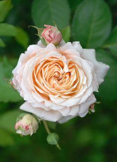 'Charles de Nervaux' | Shrub Rose. Bred by Dominique Massad (France, 2007)…