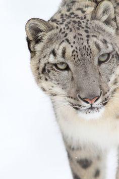 wonderous-world:  Snow Leopard by Mark Dumont