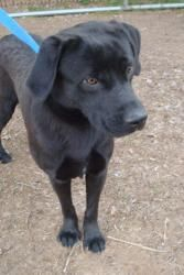 Sirius is an adoptable Black Labrador Retriever Dog in Pelham, NH. Sirius is a 2 yr old 75lb black lab.  He is a gentle giant for sure.  He gets along great with other dogs and loves people. He walks ...