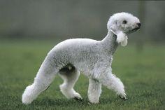 Terrier Bedlington
