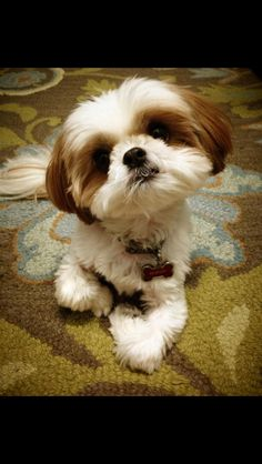 How can you not love that face? Shih tzu! :)