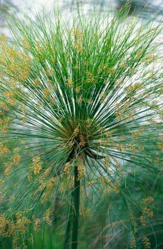 Al otro lado del cristal: Papiro, la planta paraguas: variedades, cultivo y reproducción