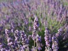 Lavender fields forever at Brys Estate's Secret Garden. Photo by John Kalmar