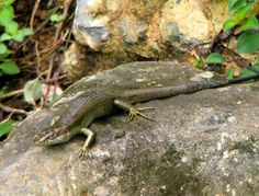 Trachylepis principensis sp. nov., endemic to Príncipe Island.  Species New to Science: [Herpetology • 2016] A Review of the Genus Trachylepis (Sauria: Scincidae) from the Gulf of Guinea, with Descriptions of Two New Species in the Trachylepis maculilabris (Gray, 1845) Species Complex