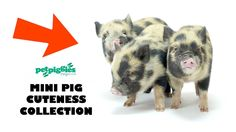 Baby pigs are cute and baby mini pigs are even cuter! Take a look at this cuteness collection featuring some of Petpiggies favourite Mini pig clips. Remember...