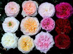 Various Shades & Types of Roses