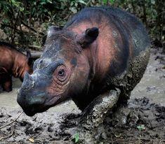 Already Unprecedented Rate of Wildlife Extinctions Is Accelerating  | Smart News      | Smithsonian Magazine Kelp Forest, Mangrove Forest, Reptiles And Amphibians, Mammals, Sumatran Rhino, Rhinoceros, Habitat Destruction, Sea Cow, Giant Tortoise